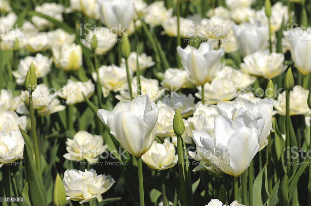 flowerbed of white tulips in springtime. stock photo