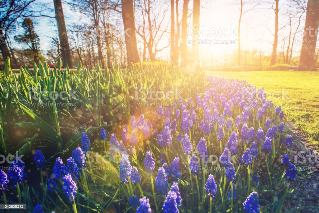 Flower-bed with blue flowers on flowerbed muskari illuminated by stock photo