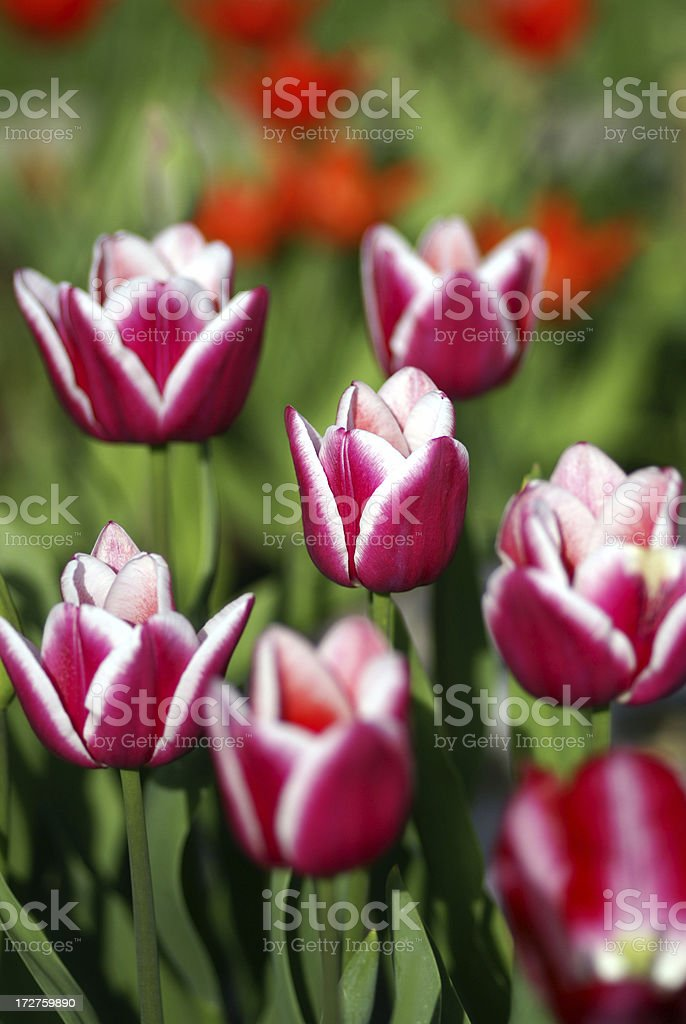 Flowerbed with colorful tulips royalty-free stock photo