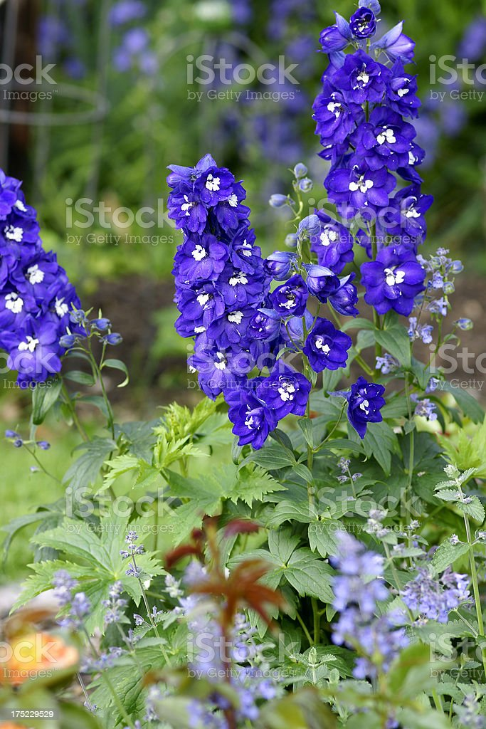 Flowerbed with Delphinium flowers royalty-free stock photo