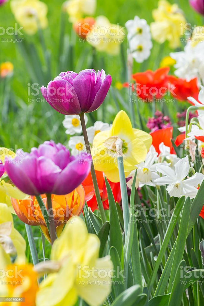 Flowerbed with different varieties of tulips stock photo