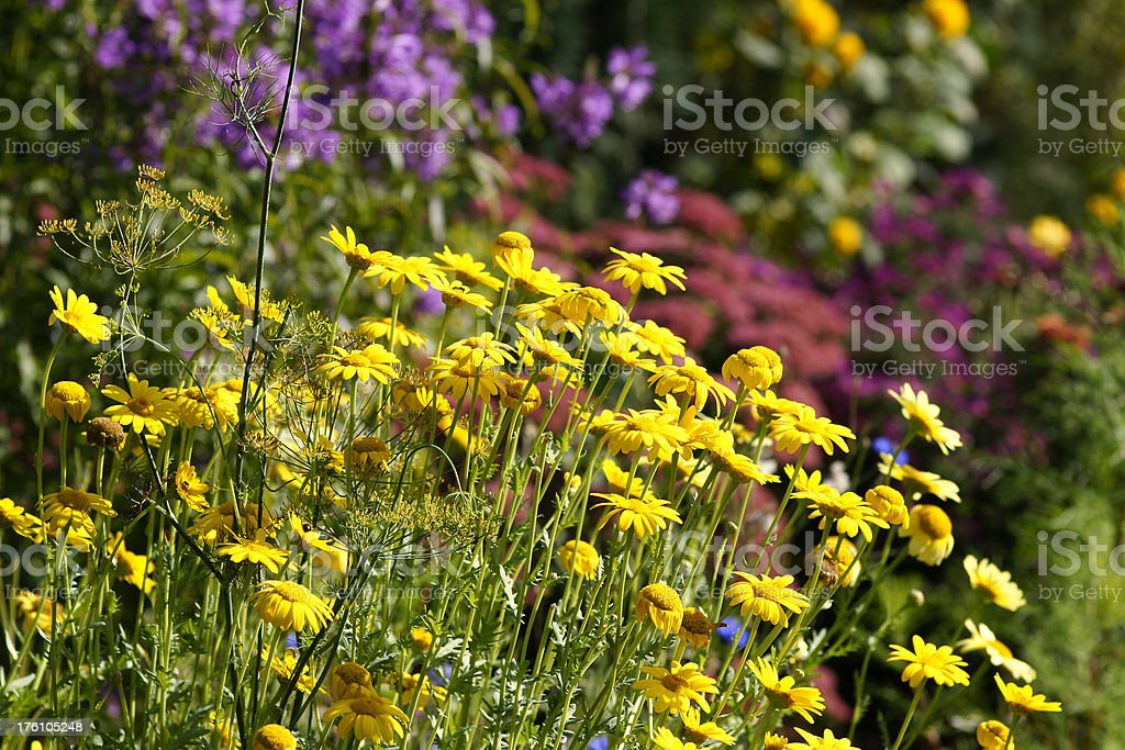 Flowerbed with dyer camomile stock photo