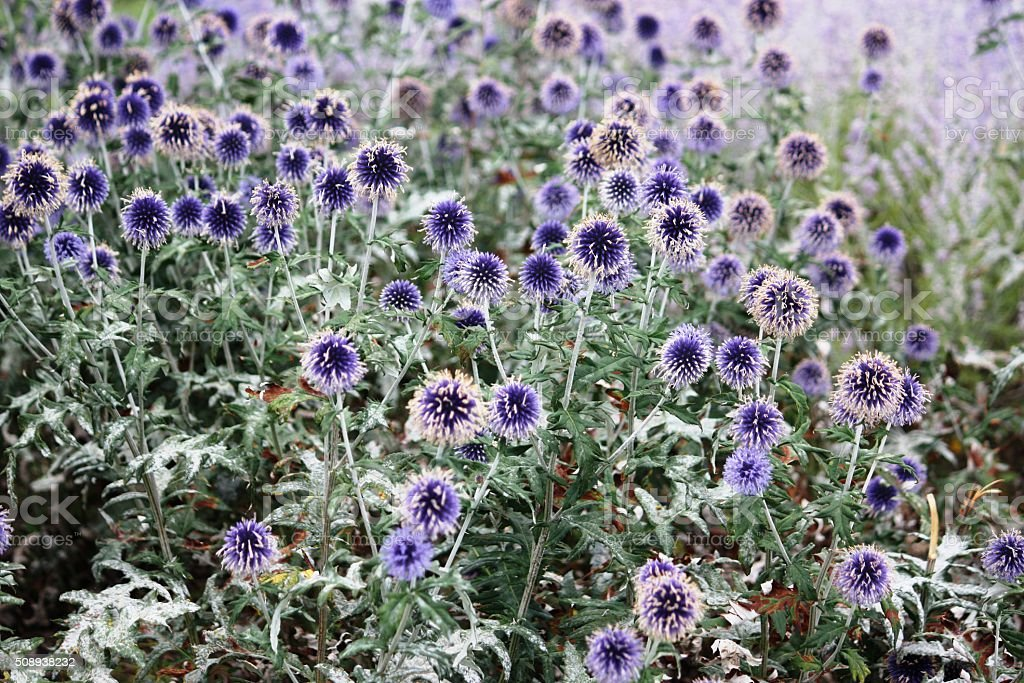 Flowerbed with globe thistle in the garden stock photo
