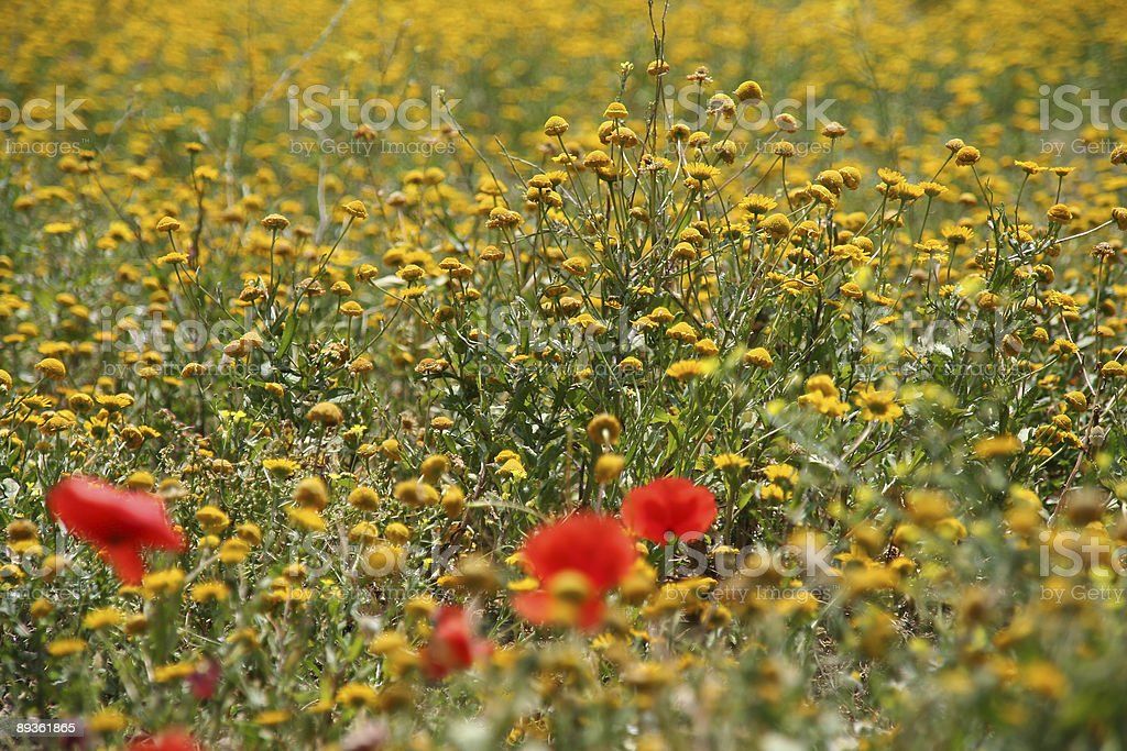Flowerfield royalty-free stock photo