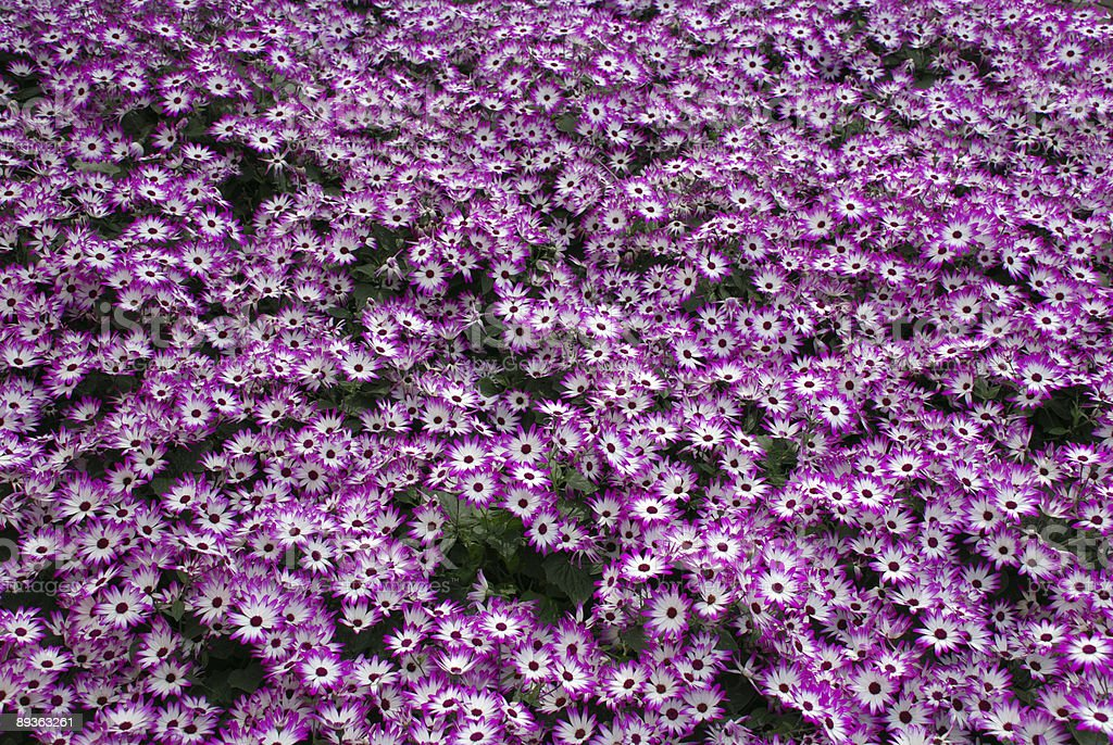 Flowerfield royalty-free stock photo