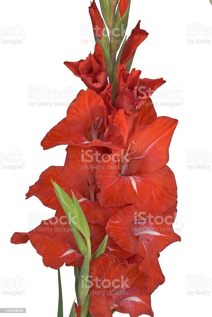 Flower-Gladiolus isolated on white royalty-free stock photo