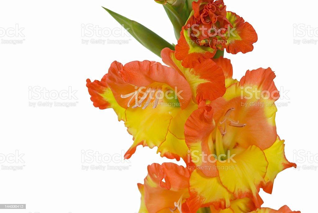 Flower-Gladiolus stock photo