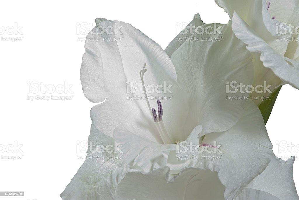 Flower-Gladiolus white blossom royalty-free stock photo