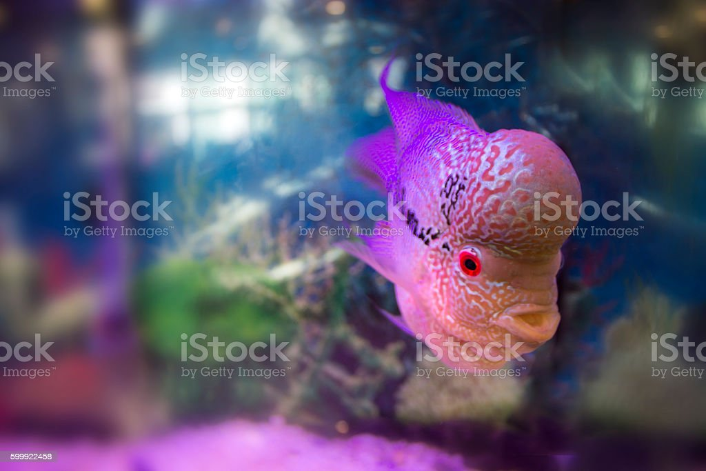 Flowerhorn cichlid aquariem fish stock photo