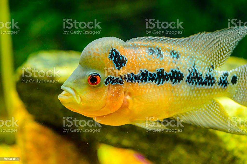 Flowerhorn cichlid hybrid fish stock photo