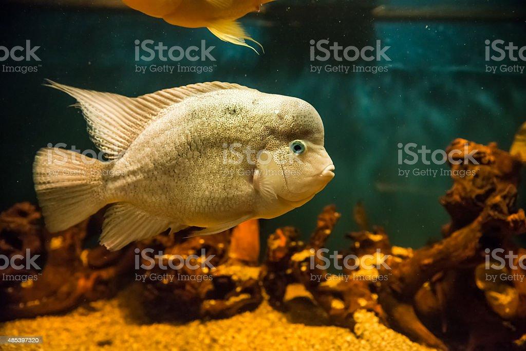 Flowerhorn cichlids stock photo