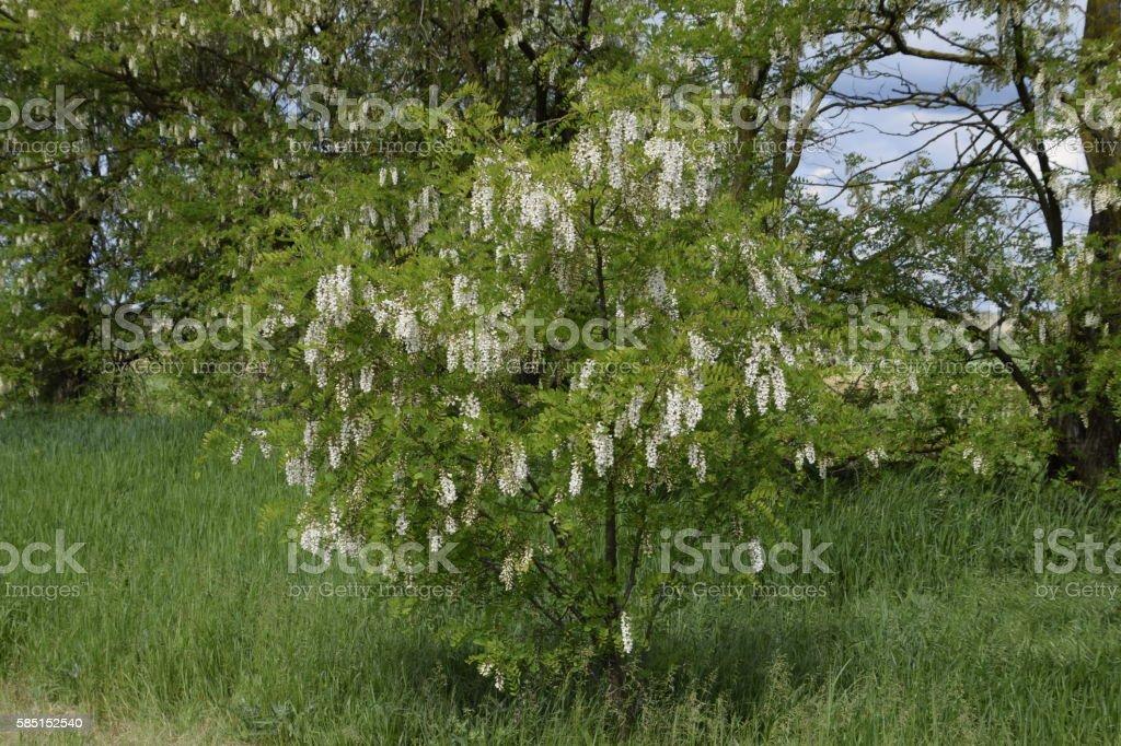 Flowering acacia white grapes stock photo
