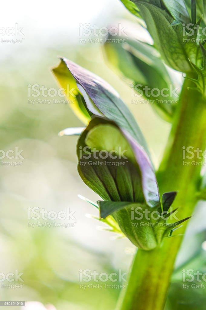 flowering Acanthus bud close up stock photo