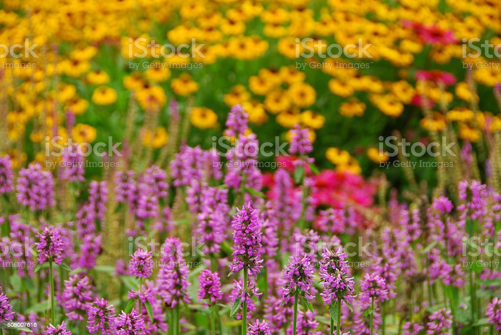 Flowering Agastache heatwave. stock photo