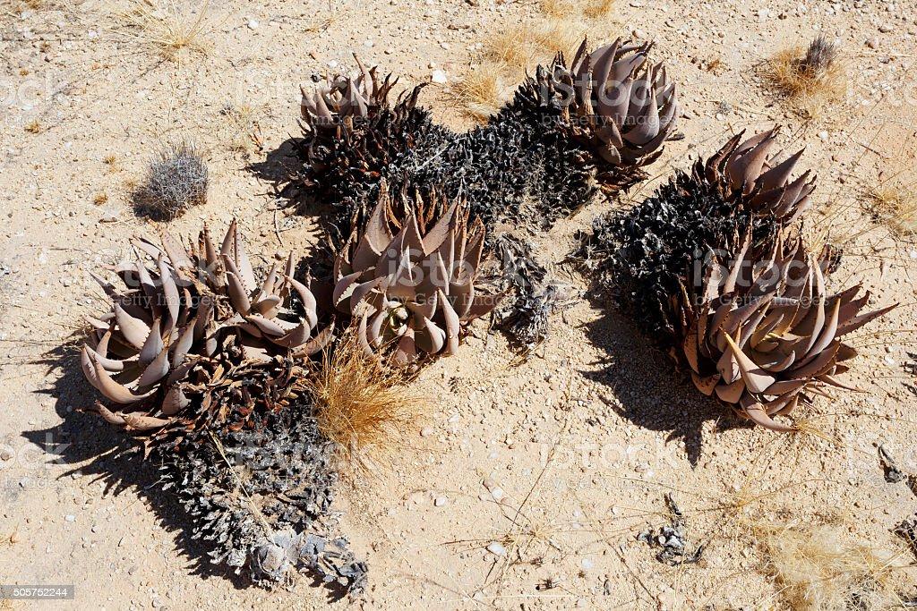 flowering aloe in the namibia desert stock photo
