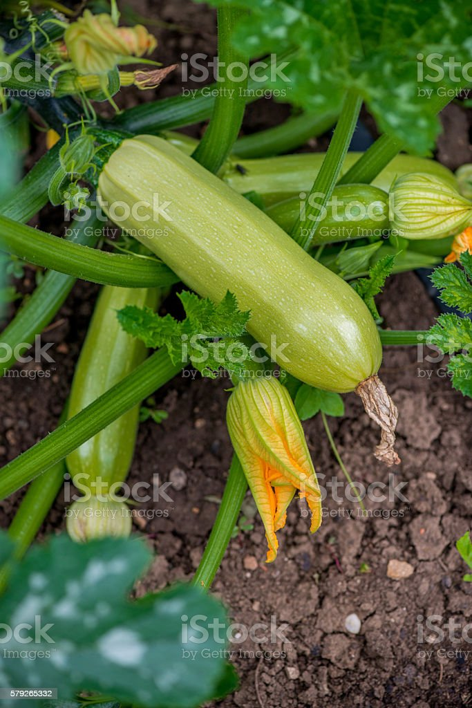 Flowering and ripe fruits of zucchini in vegetable garden stock photo