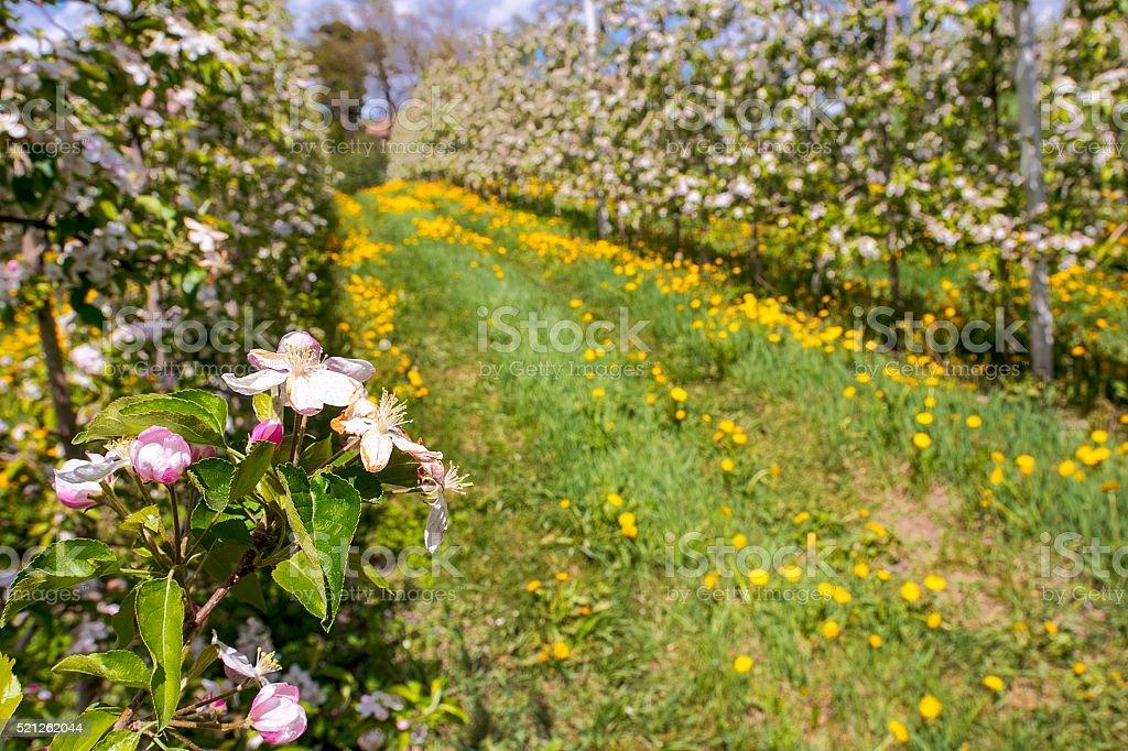 flowering apple tree stock photo
