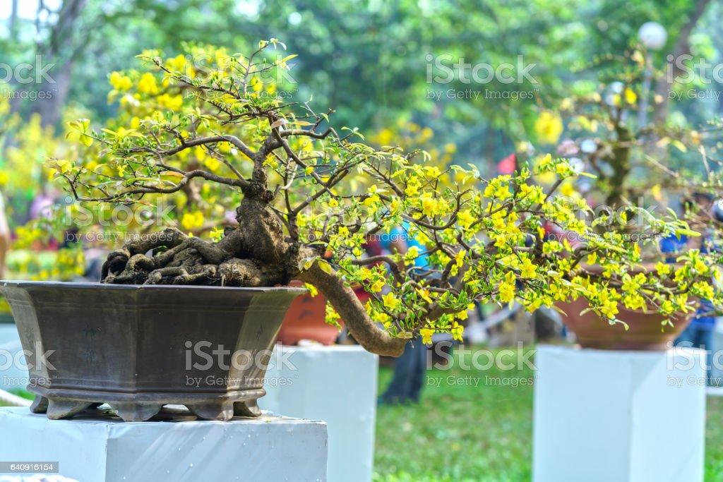 Flowering apricot bonsai pots in spring stock photo