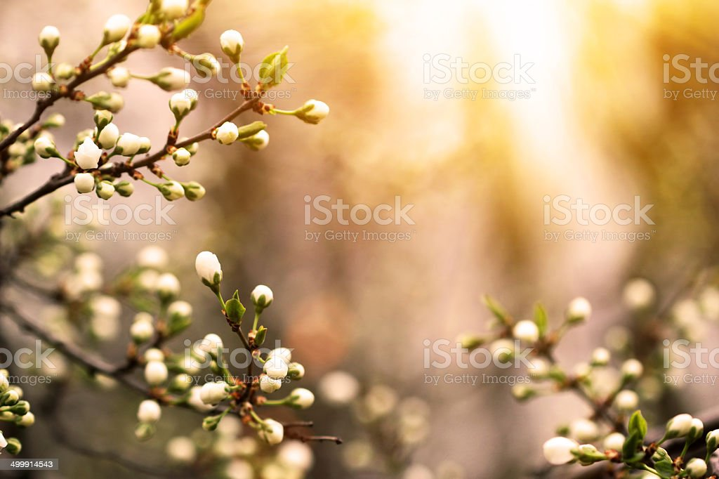 flowering apricot tree in a garden stock photo