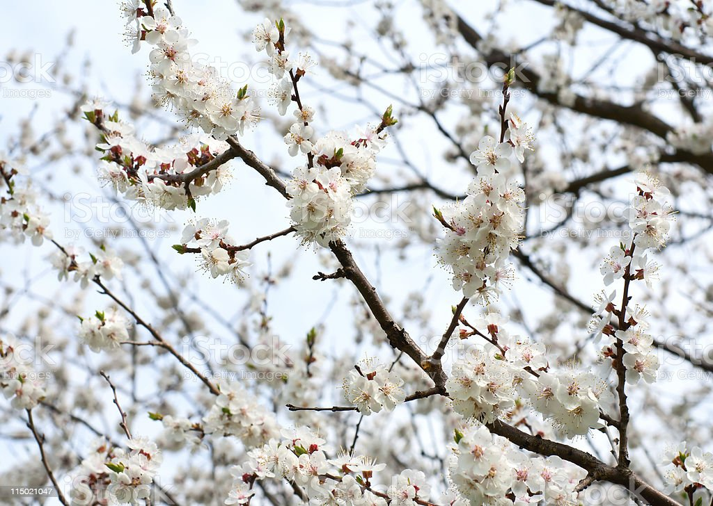 Flowering apricot tree stock photo