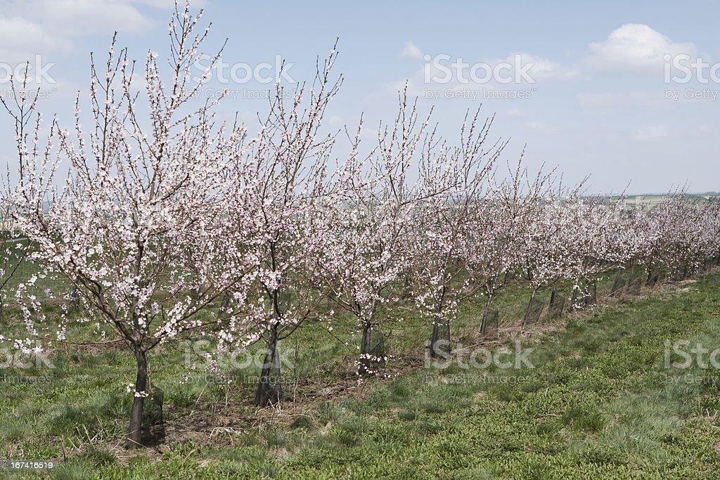 Flowering apricot trees stock photo