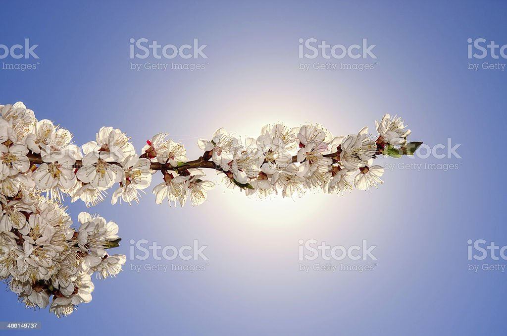 flowering apricots royalty-free stock photo