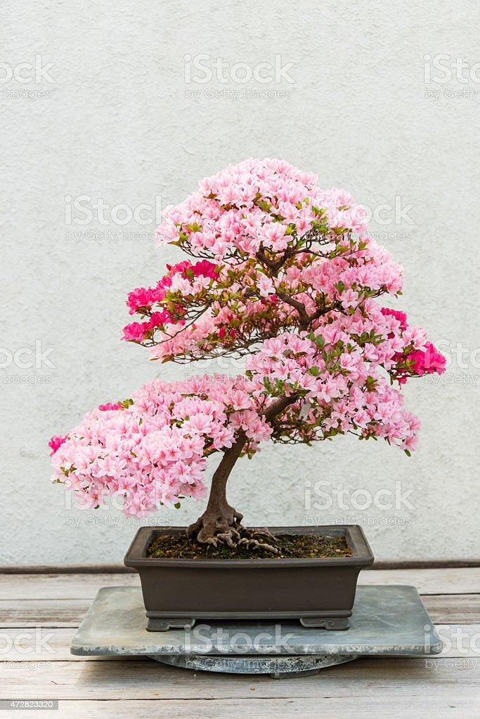 XXXL: Flowering azalea bonsai tree stock photo