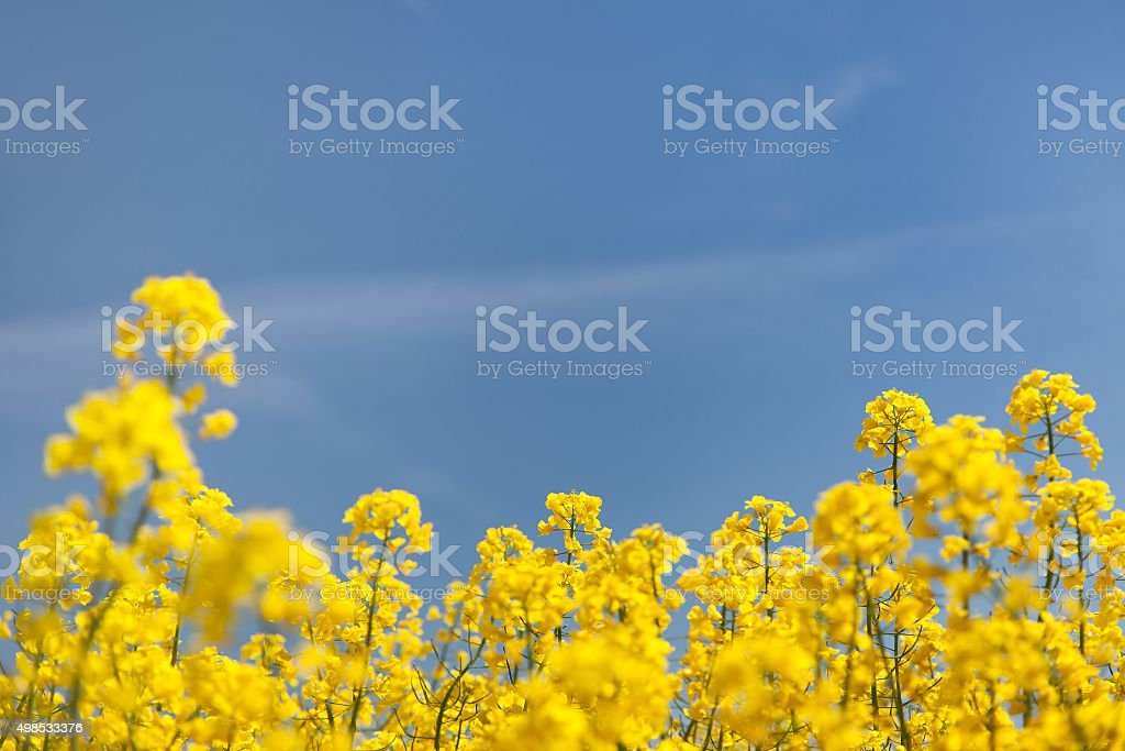 flowering background - yellow rapeseed and blue sky stock photo