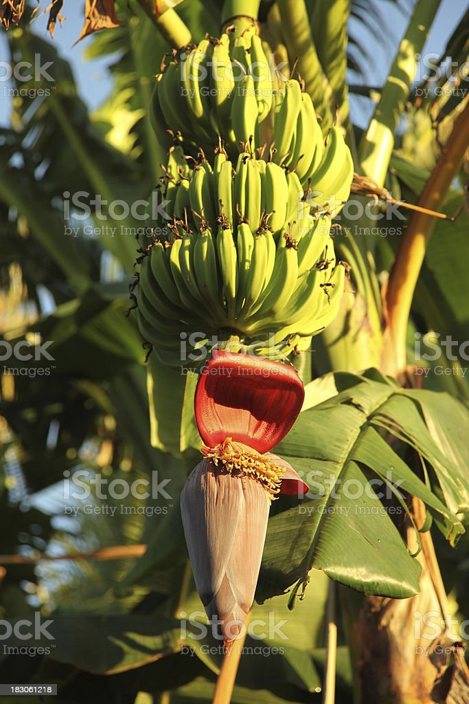Flowering banana tree stock photo