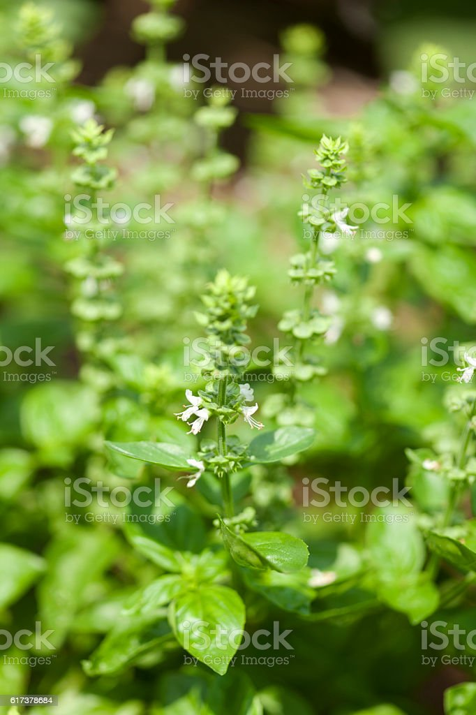 Flowering basil plant stock photo