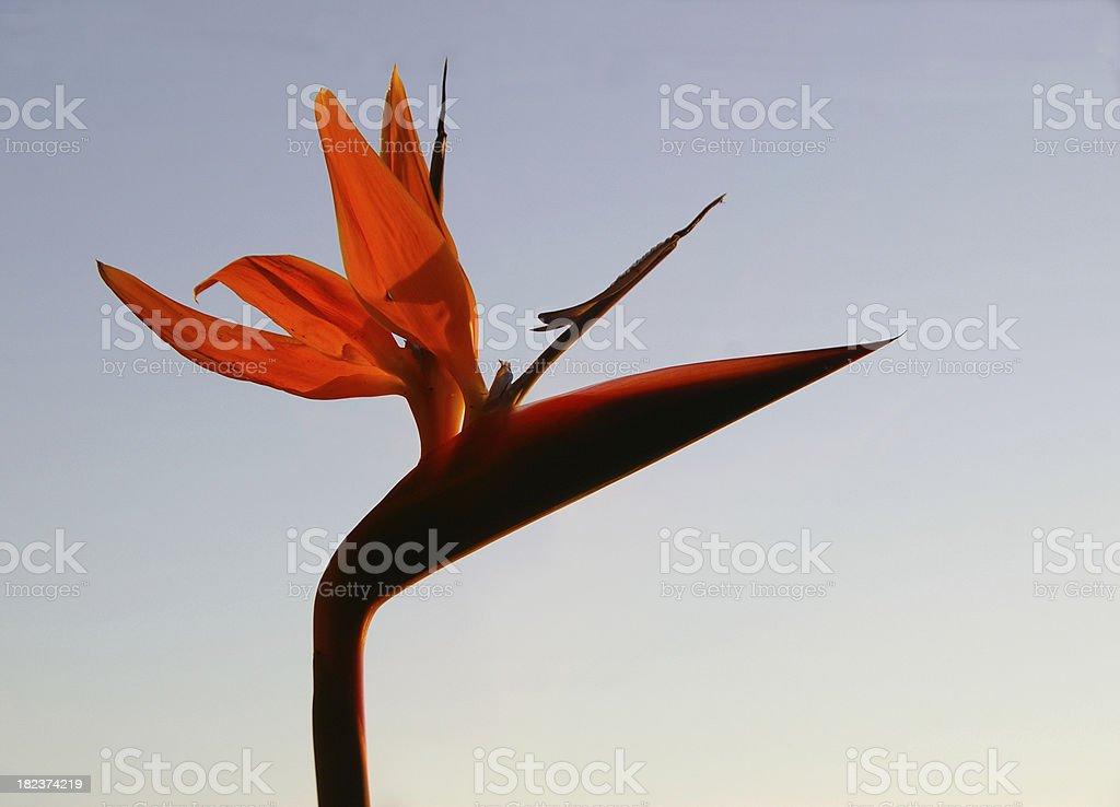 Flowering Bird of Paradise stock photo