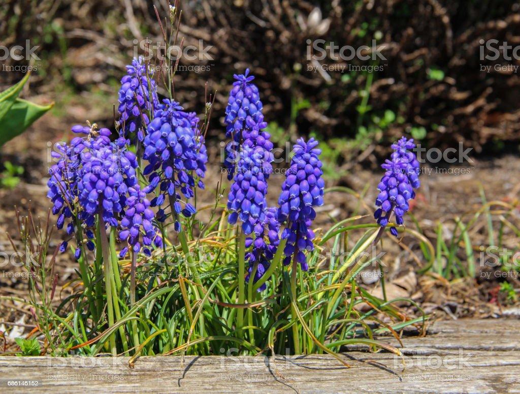 Flowering blue muscari in the spring garden. stock photo