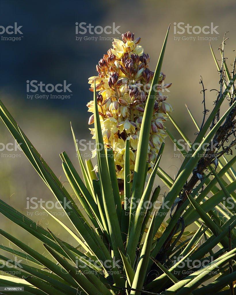 Flowering Blue Yucca stock photo