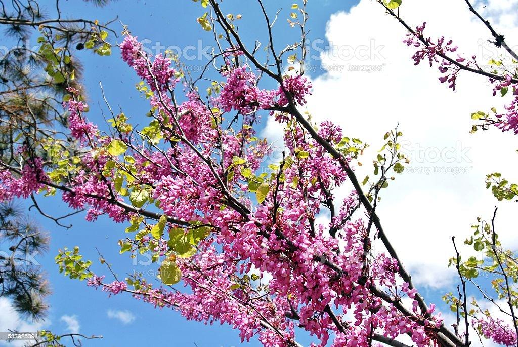 Flowering branch bush Cercis European (Cercis siliquastrum) stock photo