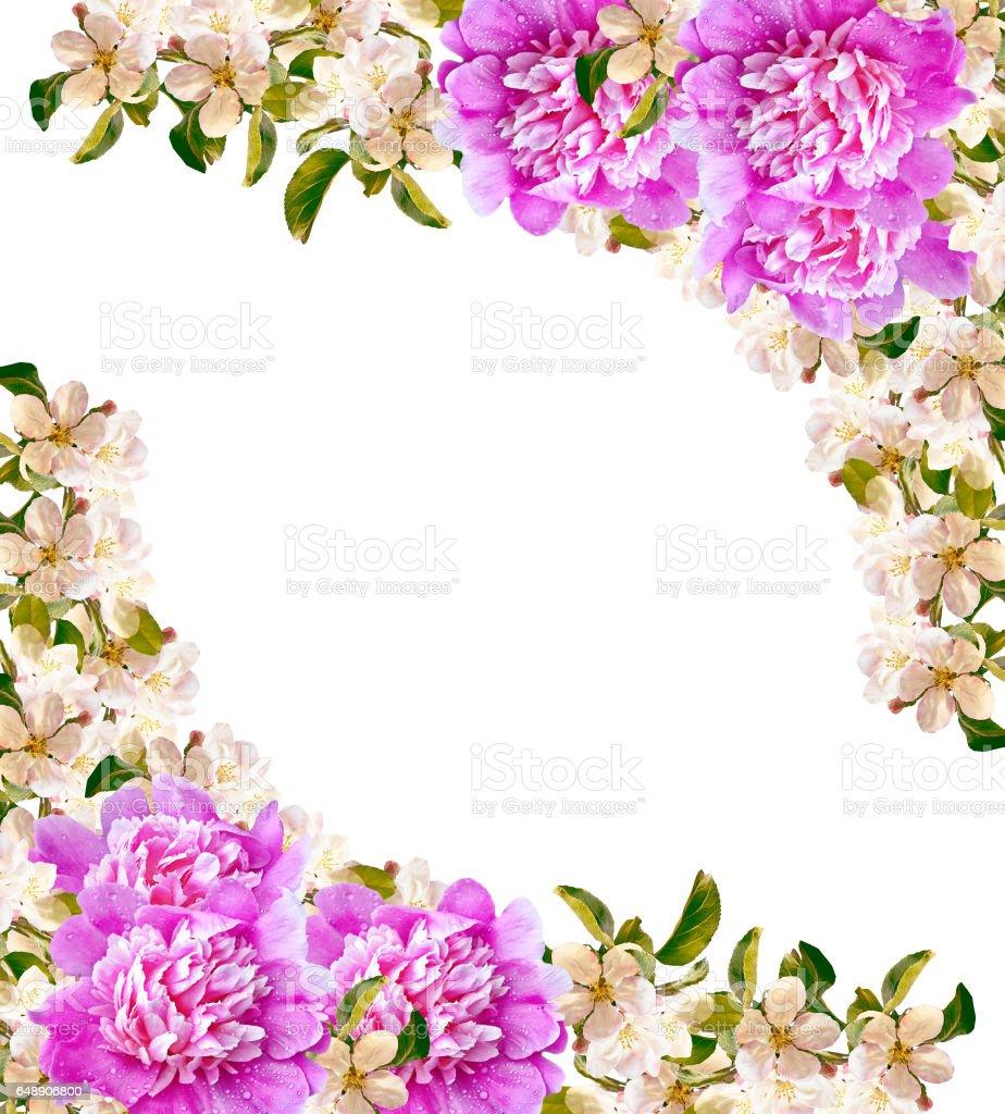 Flowering branch of apple stock photo