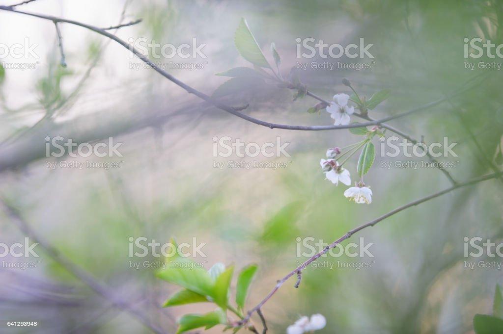 Flowering branch of cherry tree stock photo