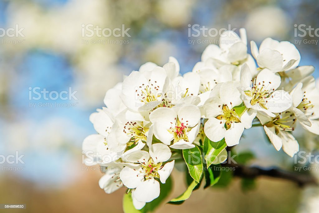 Flowering branch of pear stock photo