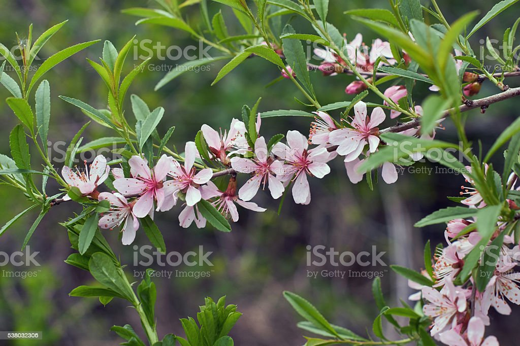 Flowering branch of the wild almond. stock photo