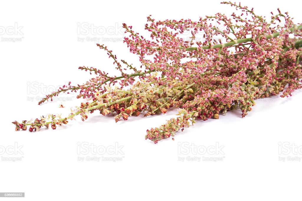 Flowering branches of sorrel stock photo