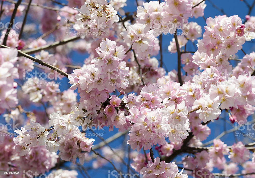 flowering branches royalty-free stock photo
