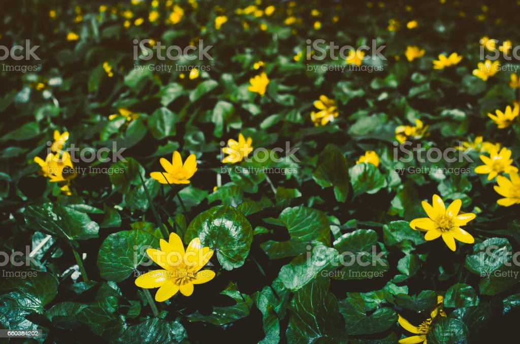 Flowering bright yellow Marsh Marigold Caltha palustris , background stock photo