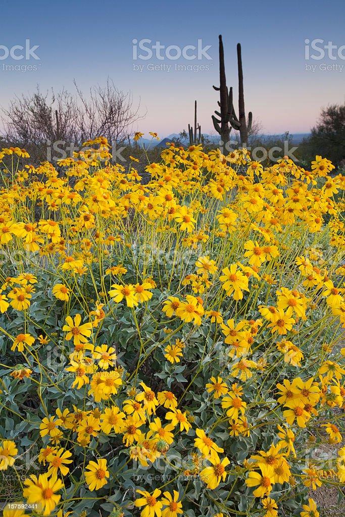 Flowering Brittlebush and Saguaro Cactus stock photo