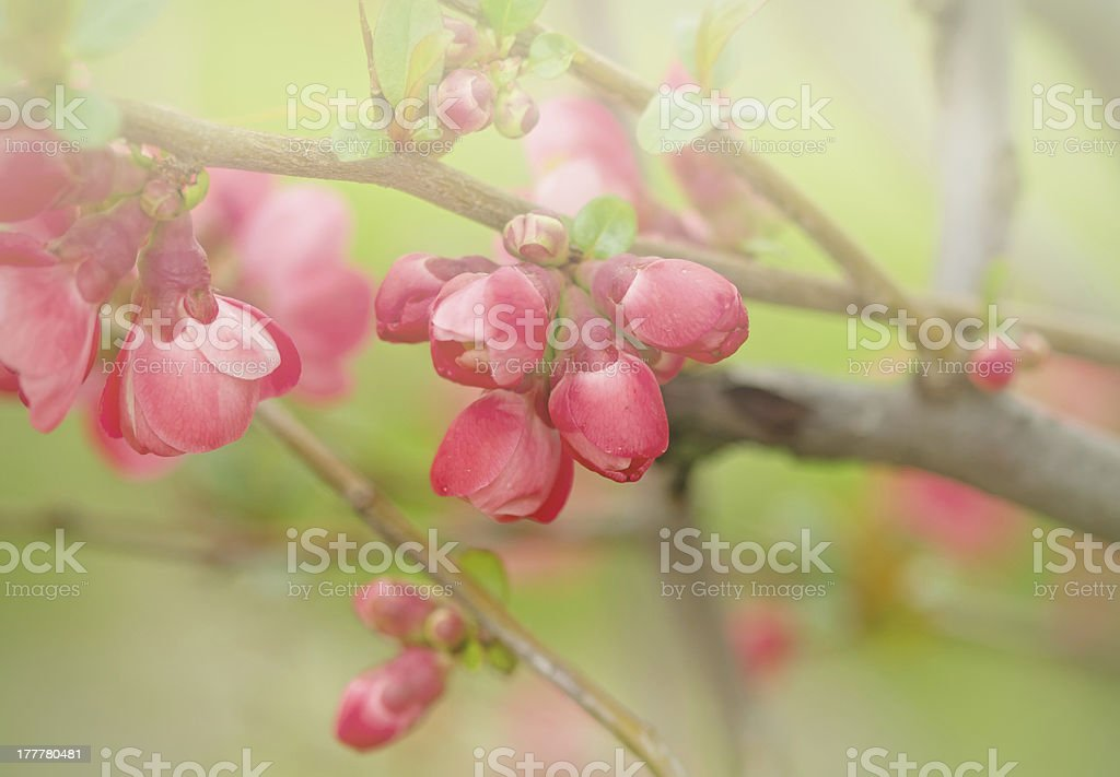 Flowering bud and flower royalty-free stock photo