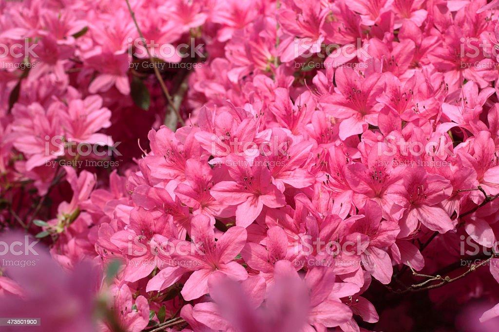 Flowering bush hot pink azalea stock photo