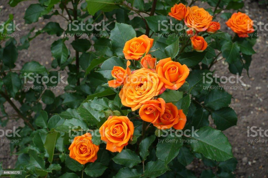 Flowering bush of orange roses in summer stock photo