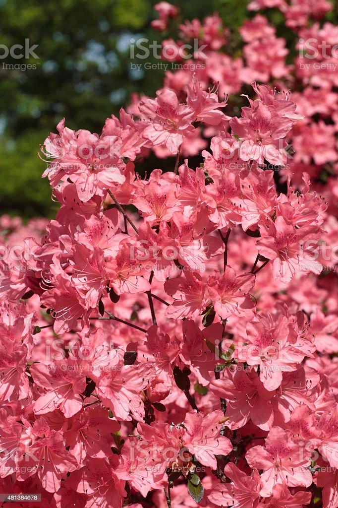 Flowering bush salmon pink azalea stock photo