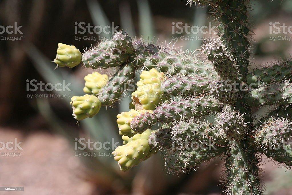 Cornejo Cactus foto de stock libre de derechos