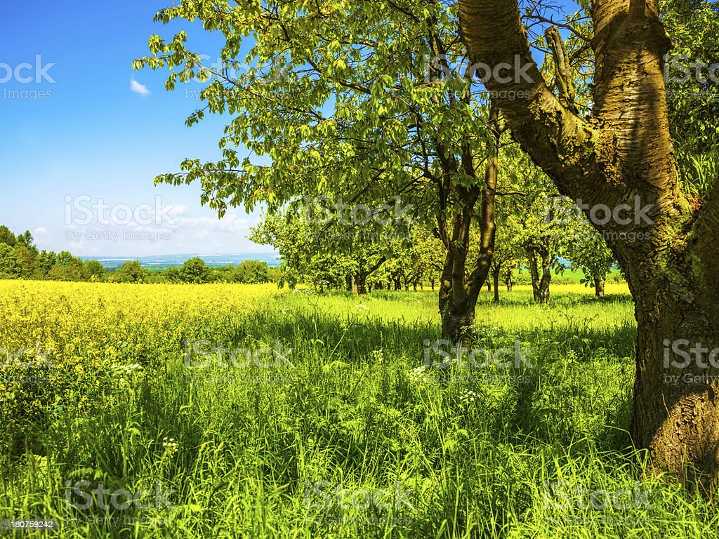flowering canola field stock photo