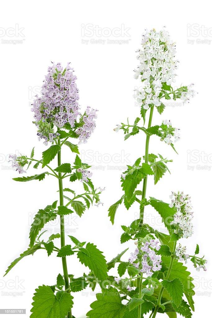 Flowering Catnip Plant, Nepeta cataria stock photo