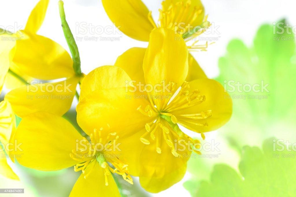 flowering celandine stock photo